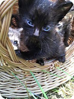 Domestic Shorthair Kitten for adoption in Silver Lake, Wisconsin - Feta