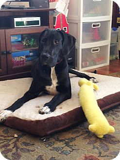 Great Dane Puppy for adoption in Broomfield, Colorado - Jupiter
