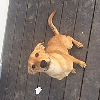 Labrador Retriever/Whippet Mix Dog for adoption in Lakewood, California - Ralphie