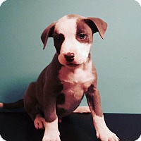 Terrier (Unknown Type, Medium) Mix Puppy for adoption in Detroit, Michigan - Row-Pending!