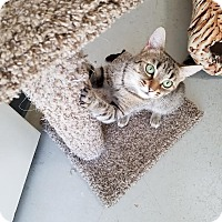 Domestic Shorthair Cat for adoption in Canyon Country, California - Sabrina