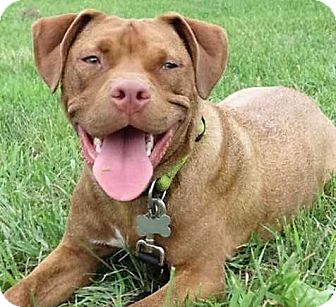 Pit Bull Terrier Mix Dog for adoption in Boston, Massachusetts - Nitro
