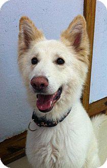 Shepherd (Unknown Type)/Husky Mix Dog for adoption in Valparaiso, Indiana - Frizz