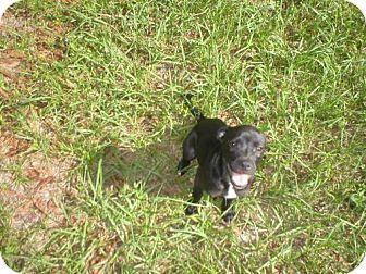 Boston Terrier Mix Puppy for adoption in Jacksonville, Florida - jada 0894