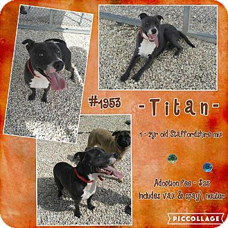 Staffordshire Bull Terrier/Pit Bull Terrier Mix Dog for adoption in Concord, North Carolina - Titan