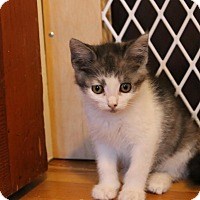 Domestic Shorthair Kitten for adoption in Rochester Hills, Michigan - Tansy