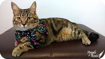 Domestic Mediumhair Cat for adoption in Roanoke, Virginia - Junebug