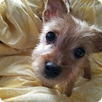 Silky Terrier Mix Puppy for adoption in Monrovia, California - Tony