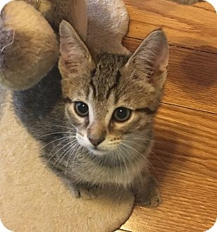 Domestic Shorthair Kitten for adoption in Fort Worth, Texas - Manny