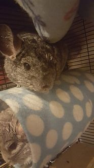 Chinchilla for adoption in Patchogue, New York - Sage
