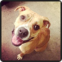 Adopt A Pet :: Scarlett - Colorado Springs, CO