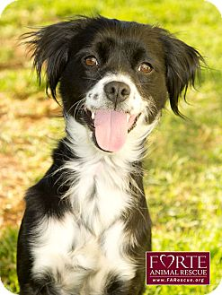 Spaniel (Unknown Type)/Border Collie Mix Dog for adoption in Marina del Rey, California - Diamond