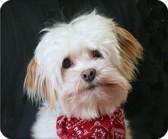 Maltese/Shih Tzu Mix Dog for adoption in Mooy, Alabama - Alden