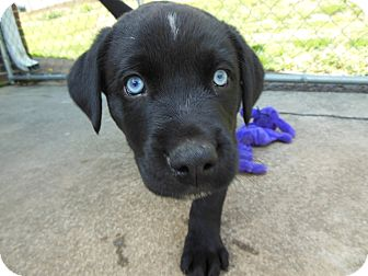 Labrador Retriever/Rottweiler Mix Puppy for adoption in maryville, Tennessee - Spencer