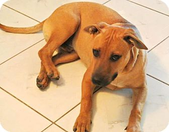 Labrador Retriever/Black Mouth Cur Mix Puppy for adoption in Houston, Texas - Drake