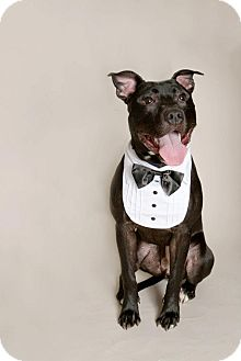 Pit Bull Terrier Mix Dog for adoption in Louisville, Kentucky - Teddy