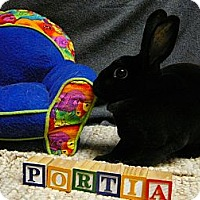 Mini Rex for adoption in Newport, Delaware - Portia