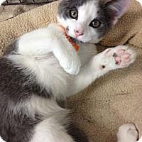 Adopt A Pet :: Cheech - Byron Center, MI