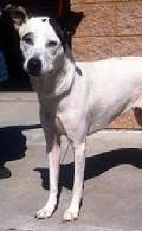 Pointer/Labrador Retriever Mix Dog for adoption in Summerville, South Carolina - Jasmine