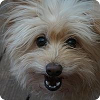 Adopt A Pet :: Smurf - conroe, TX