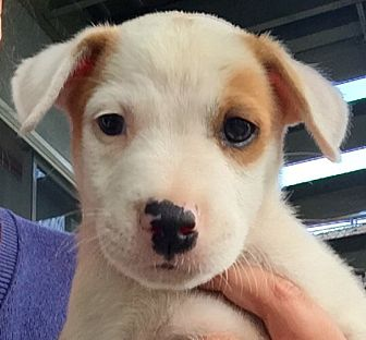 Labrador Retriever/Boxer Mix Puppy for adoption in Long Beach, California - Rufus