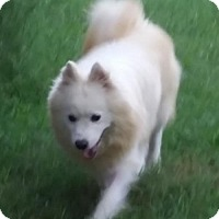 American Eskimo Dog Dog for adoption in Randallstown, Maryland - Skip of Edgewater, MD