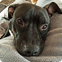 Adopt A Pet :: Holly Berry - Troy, MI