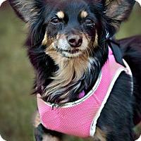 Adopt A Pet :: Molli - Westminster, MD