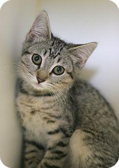 Domestic Shorthair Kitten for adoption in Staunton, Virginia - Blossom