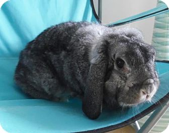 Lop-Eared for adoption in Newport, Kentucky - Sophie