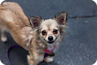 Chihuahua Mix Dog for adoption in Hewitt, New Jersey - Foxy Adoption Pending!