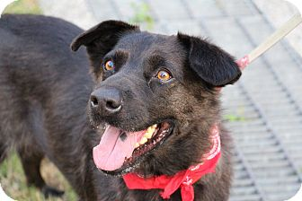 Labrador Retriever Mix Dog for adoption in San Francisco, California - Davinci