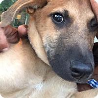 Black Mouth Cur/Rhodesian Ridgeback Mix Puppy for adoption in Seattle, Washington - Cooper