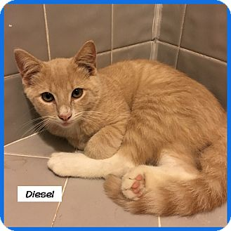 Domestic Shorthair Cat for adoption in Miami, Florida - Diesel