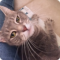 Adopt A Pet :: Kit-Kat - Worcester, MA