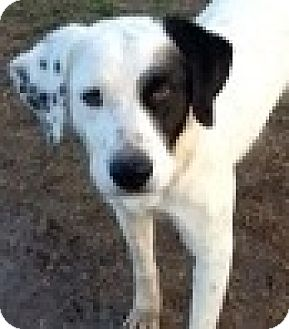 Dalmatian/Great Pyrenees Mix Dog for adoption in Dallas, Texas - zzRuby