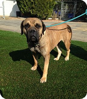 Bullmastiff Mix Dog for adoption in Temecula, California - Melissa