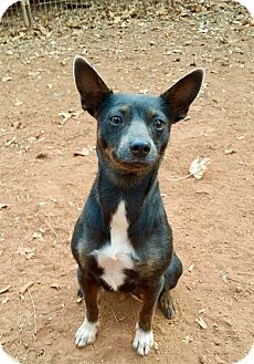 Miniature Pinscher Mix Dog for adoption in Plainfield, Connecticut - Little Lady