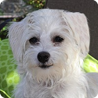 Maltese Mix Dog for adoption in La Habra Heights, California - Abigal