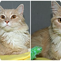 Domestic Longhair Cat for adoption in Forked River, New Jersey - Clockwork