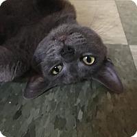 Adopt A Pet :: SHEBA - Corona, CA