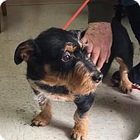 Adopt A Pet :: Springer - Germantown, MD
