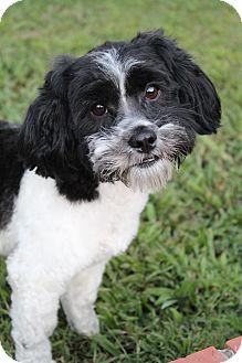 Poodle (Miniature)/Shih Tzu Mix Dog for adoption in Wytheville, Virginia - Thunder