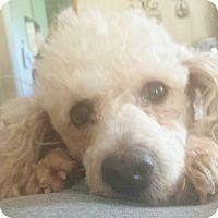 Santa monica ca poodle standard mix meet zelda a dog for Dog boarding santa monica