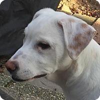 Adopt A Pet :: Marshmallow - Toms River, NJ