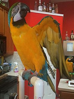 Macaw for adoption in Fort Worth, Texas - Cass