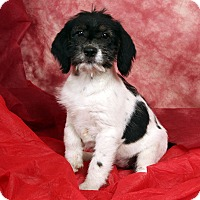 Adopt A Pet :: Lucy Love - St. Louis, MO