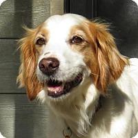 Adopt A Pet :: AR/Wendy - Brewster, MA