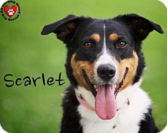 Australian Shepherd Mix Dog for adoption in Joliet, Illinois - Scarlet