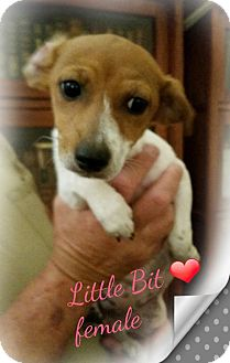 Chihuahua Mix Puppy for adoption in Orange, California - Little Bit